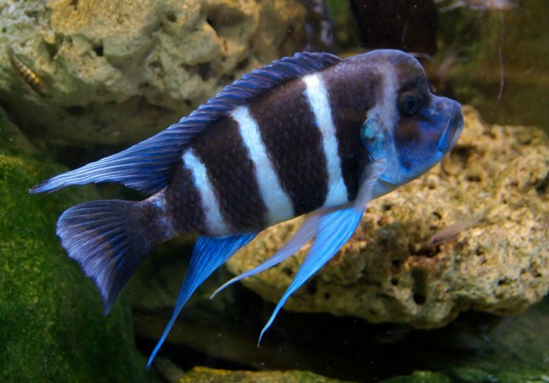 рыбки цихлиды Танганьика