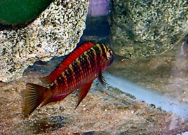 цихлиды озера Танганьика фото