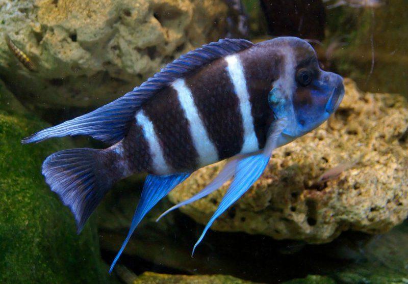 рыбки цихлиды Танганьика фото